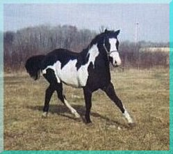 Photo taken in 1999, at 3 years old APHA/PtHA 1996 -- 15.1 Hands 32+ Generations Black UC DAVIS TESTED - HOMOZYGOUS BLACK PRODUCER Grand Champion Halter 1996  MPHA Hi-Point Halter 6 Amateur Halter Points 12 Open Halter Points 35 Overo Color Points 3rd Place Wadena County Fair Placed at MPHA Open Futurity