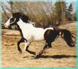 Photo taken in 1994, at 6 years old APHA/PtHA 1988 -- 15.1 1/2 Hands 20+ Generations Black UC DAVIS TESTED - HOMOZYGOUS BLACK PRODUCER Grand Champion Halter Sire Hi-point Halter Sire Multiple point earning get in Amateur & Open Halter, Color, Western Pleasure and Cattle Events!!!